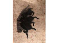 5 Beautiful black kittens 2 boys 3 girls
