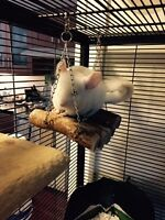 4 months old white chinchilla , only for experienced buyer