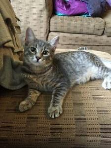 "Baby Female Cat - Domestic Short Hair: ""Lollypop"""