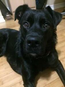 "Young Male Dog - Labrador Retriever-Boxer: ""Pax"""