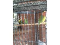 3 Lovebirds with cage