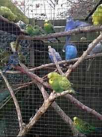 Budgies. Avairy bred. Large healthy birds.
