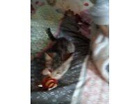 bangal and ragdoll mix kitten