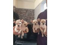 Chihuahuas pup ready soon born 01/03/2017 mam white smooth coat/dad cream long coat...