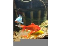 9 large gold fishes