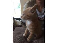 2 lovely ginger kittens for sale