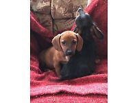 DACHSHUND X X JACK RUSSELL PUPPIES