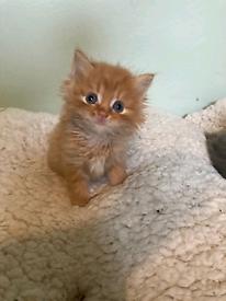 Persian cross kittens Blue Ginger Ready now with starter kit