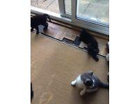 3 Male Kittens Free