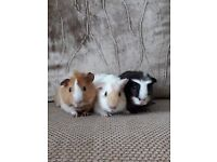 3 Male Guinea Pigs for Sale 8 months old. Sold with hutch and accessories