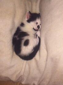 2 adorable 9 week old female kittens