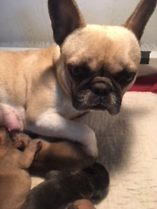 Puppies! French Bulldogs