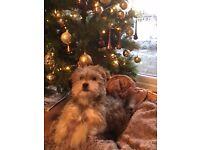 Yorkshire terrier X Maltese puppy.