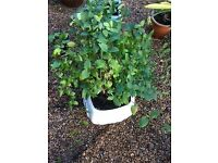 Large climber Honeysuckle plant in pot
