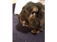 lop eared rabbit free to good home