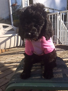 1  STANDARD POODLE PUP FOR SALE