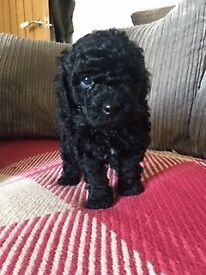 Black toy poodle forsale
