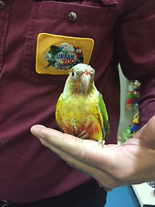 Pineapple or Yellow sided Hand fed Conure
