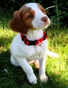 Looking for Brittany Spaniel or Small-Medium Sized Dog