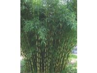 Bamboo - Clumping non-invasive type