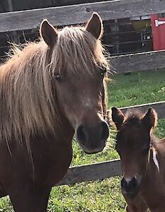 Miniature horse mare for sale