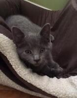 "Baby Female Cat - Domestic Short Hair-gray: ""Snickers"""