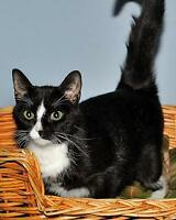 "Young Female Cat - Domestic Short Hair-black and white: ""Betty"" Gatineau Ottawa / Gatineau Area Preview"
