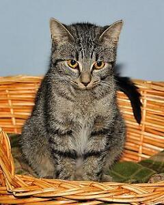 "Adult Female Cat - Tabby - Brown: ""Candace"""