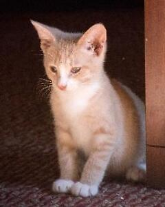 "Baby Male Cat - Domestic Short Hair - buff and white: ""Twist"""