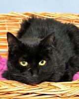 "Adult Female Cat - Korat-Domestic Short Hair-black: ""Shadow"" Ottawa Ottawa / Gatineau Area Preview"