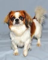 """Young Male Dog - Japanese Chin: """"Norman"""""""