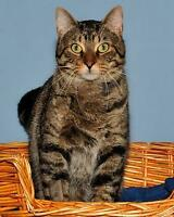 "Adult Male Cat - Tabby - Brown: ""Marvin"" Ottawa Ottawa / Gatineau Area Preview"