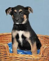 "Baby Female Dog - Labrador Retriever-Shepherd: ""Abbie"" Ottawa Ottawa / Gatineau Area Preview"
