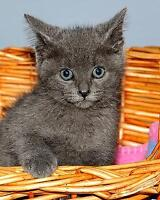 """Baby Male Cat - Russian Blue: """"Snickers"""""""