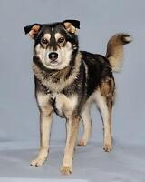 "Adult Male Dog - Husky-Labrador Retriever: ""Kayou"""