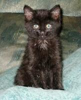 "Baby Female Cat - Domestic Medium Hair-black: ""Magalie"""