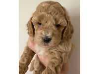 Toy Cavapoochon Puppies - rare colours - DNA hereditary clear