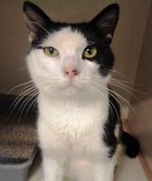 """Adult Male Cat - Domestic Short Hair-black and white: """"Luther"""" Ottawa Ottawa / Gatineau Area Preview"""
