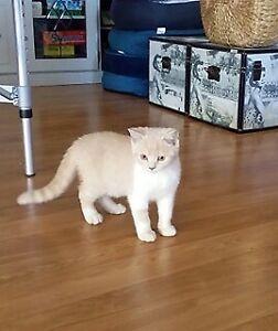 British Shorthair Pedigree Male Kitten