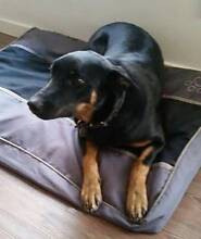 9 Month Old Female Kelpie - Suit Farm or Working Dog Adelaide CBD Adelaide City Preview