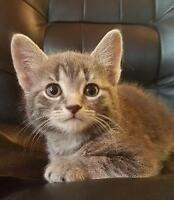 "Baby Male Cat - Tabby - Grey: ""Frite"""