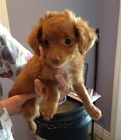 Straight Hair Tiny Toy Poodle Looking For New Home!