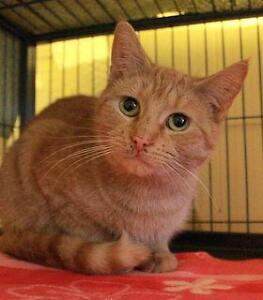 "Adult Female Cat - Domestic Short Hair: ""Grace"""