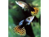 Tropical fish for free....Approx 15 guppies and 1 ottofish