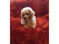 Maltipoo gorgeous puppies apricot red puppy poodle x Maltese non moulting like a teddy now ready