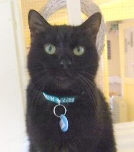 "Adult Female Cat - Domestic Short Hair: ""Blackie"""