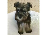 Girl Miniature Schnauzer Pups