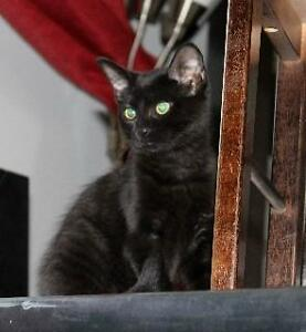 "Baby Female Cat - Domestic Short Hair-black: ""Penny"""