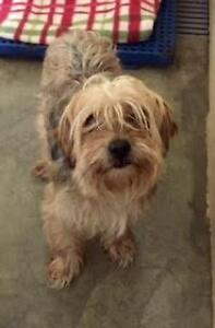 """Young Male Dog - Yorkshire Terrier Yorkie: """"Harley"""""""