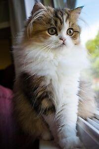5 Loving Persian Kittens 1200$ each